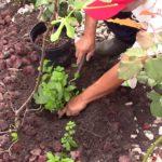 Cách trồng RAU HÚNG LỦI / Spearmint