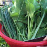 Rau Cải và Thu Hoạch / Vegetable Garden & Harvesting