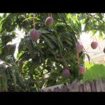 Cây XOÀI trái xum xuê đầy cành