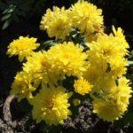 Lặt Lá Mai Cho Tết Nguyên Đán và Xem Bông Hoa Cây Cảnh