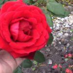 Trồng Trọt ở Mỹ: Bứng Trồng Chăm Sóc Cây Tắc, Lướt Bông Hoa Cây Cảnh Trước Nhà